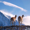 Guanacos in the Andes Mountains